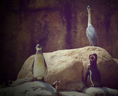 Penguins Zoo Animals Animal World Nature