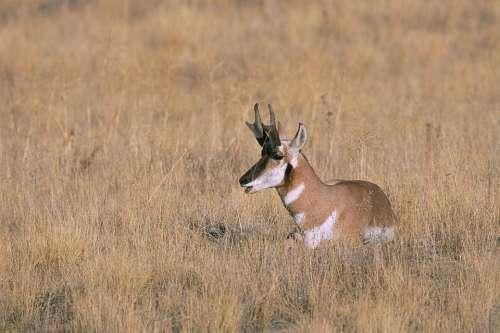 Peninsularis Americana Antilocapra Specie Mammal