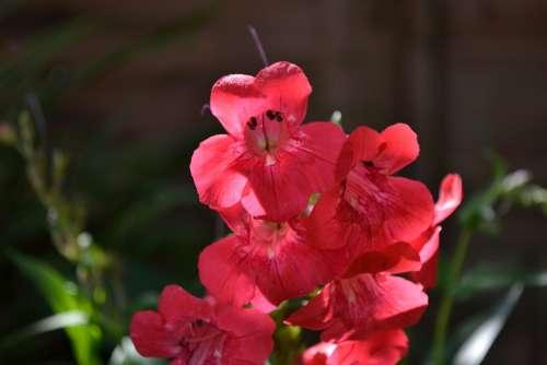 Penstemon Red Trumpet Plant Plantain Family Garden