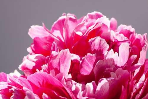 Pentecost Bouquet Peony Flower Nature Flora