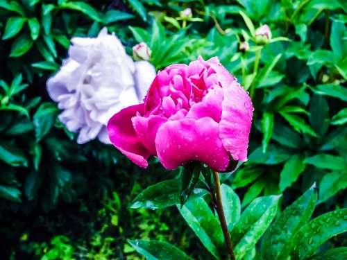 Peony Pink Pink Peony Spring Flower Flower Bud