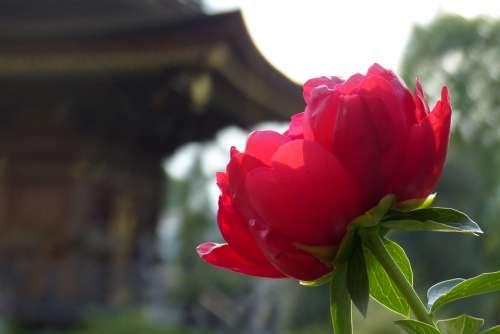 Peony Flowers Spring Temple Travel Religion
