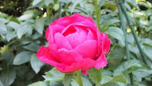 Peony Pink Flowers Spring