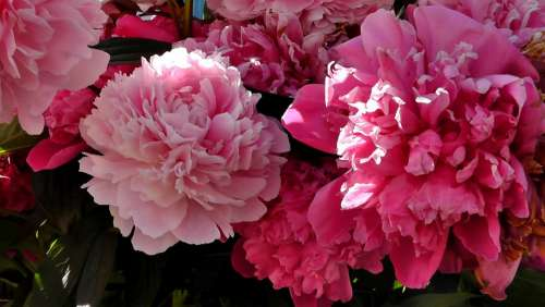 Peony Flower Ornamental Plant Garden Nature Spring