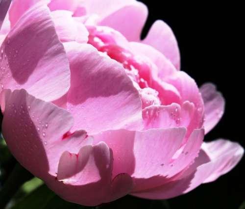 Peony Pentecost Patonie Pink Flower Blossom Bloom
