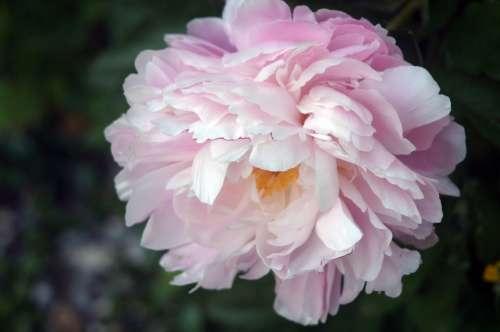 Peony Flower Flora Blossom Bloom Plant Garden