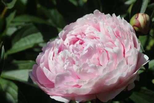 Peony Flower Blossom Bloom Nature Flora Pink