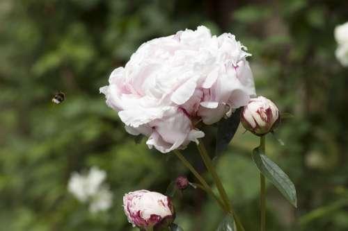 Peony Bee Flower
