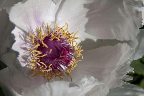 Peony Flower Nature Flora Spring Blossom Bloom