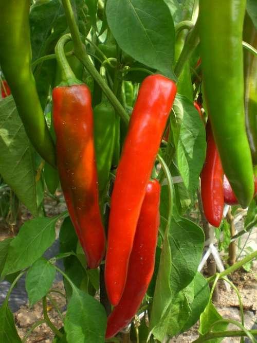 Pepper Vegetable Plants Field Vegetables