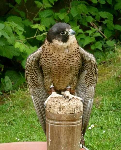 Peregrine Falcon Raptor Bird Nature Predator
