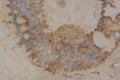 Petrification Fossil Nautilus Fossil