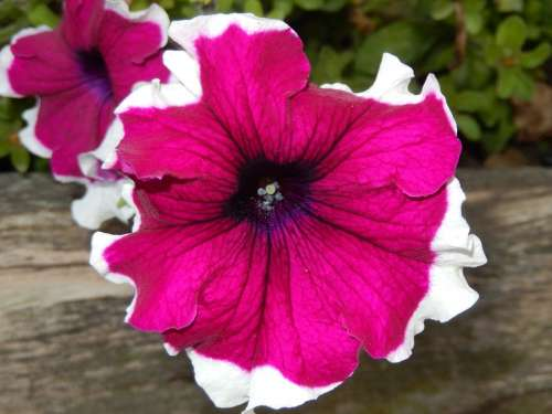 Petunia Flowers Nature