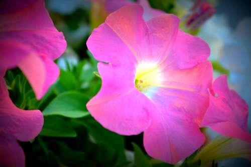 Petunia Floral Glow Garden Flower Summer Spring