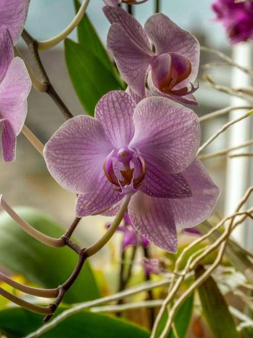 Phalaenopsis Pink Orchid Floral Elegance Macro