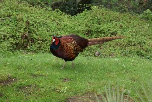 Pheasant Plumage Species Colorful Animal Grass