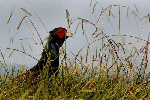 Pheasant Wild Bird Game Cock