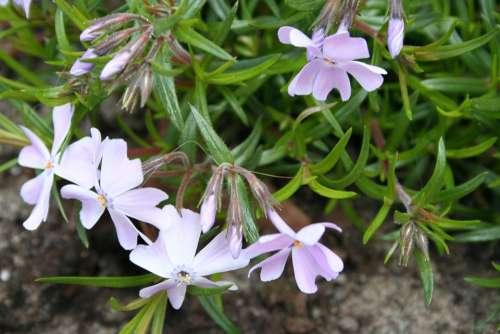 Phlox Crawl Plant Rockplant Garden Perennial