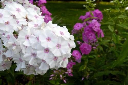 Phlox Flame Flower Plant White Pink Violet
