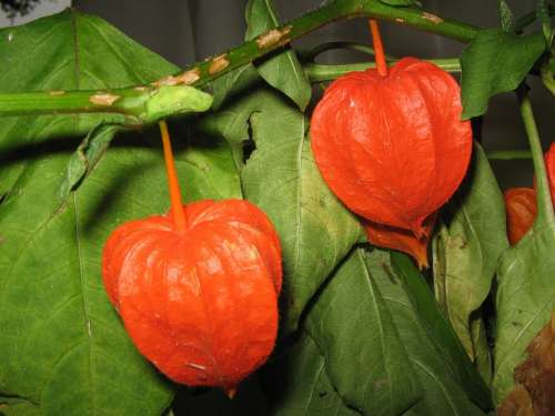 Physalis Fruit Red Flower Blossom Bloom Healthy