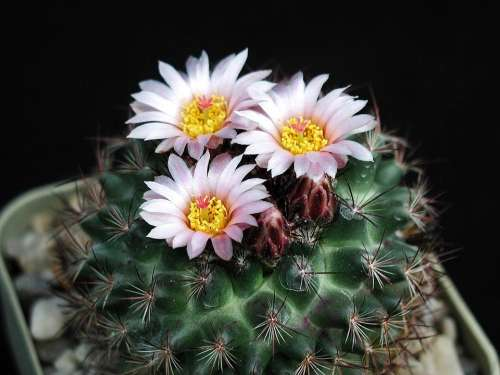 Picture Cacti Macro