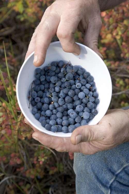 Picture Fruit Blueberries Fruits Plants Flora