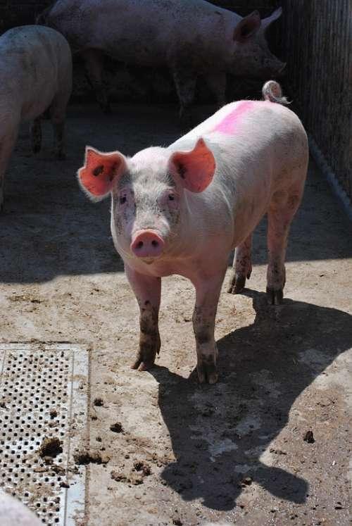 Pig Sow Breeding Livestock Pig Breeding