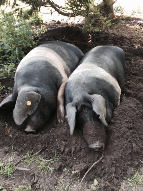Pig Saddleback Pigs Animal Saddleback Farmyard