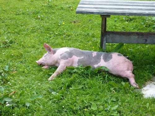Pig Animal Happy Pig Sweet Creature