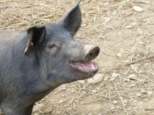 Pig Farm Animal Black Oink Livestock