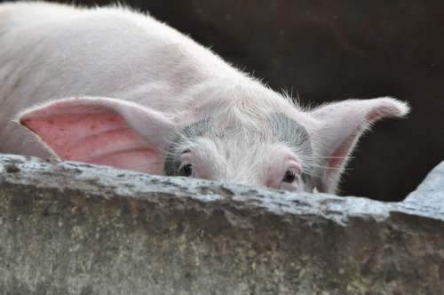 Pig Peeking Farm Animal Hiding Embarrassed