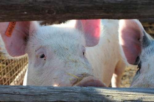 Pig Hog Animal Farm Pork Meat Cute Swine