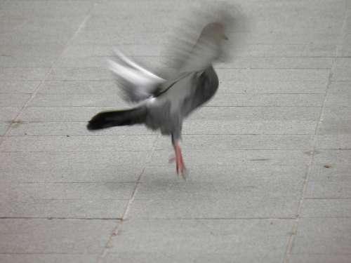 Pigeon Take Off Birds