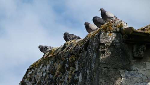 Pigeons Birds Wall Perched Nature Group Pause