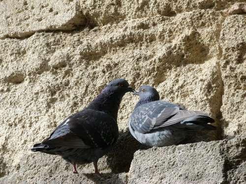 Pigeons Birds Couple Sun Animal Nature