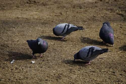 Pigeons Peck Birds Eat Food Animals