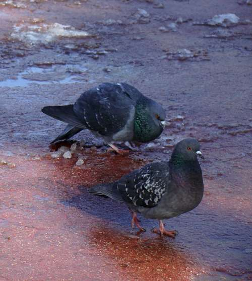 Pigeons Birds Feathered Race Spring The Courtship