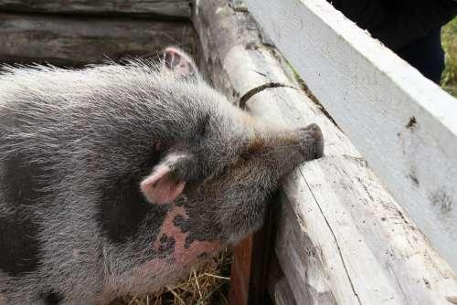 Piggy The Pig Roikkomahasika The Hair Rough Kilt