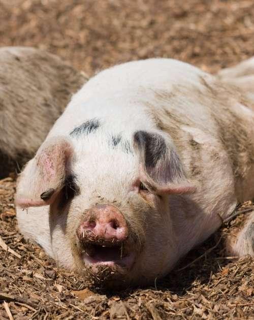 Piglet Pig Cute Piggy Snout Mouth Open Dirty