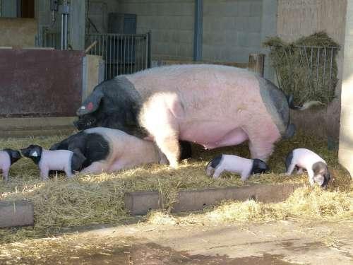 Pigs Boar Sow Piglet Animal Mammal Farm Breeding