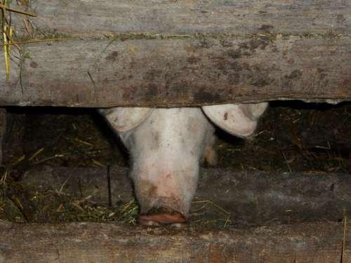 Pigsty Pig Sty Pig Farm Pig Nose Nose