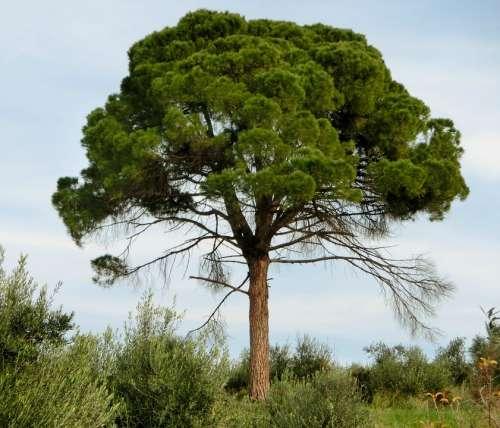 Pine Conifer Tree Mediterranean Green