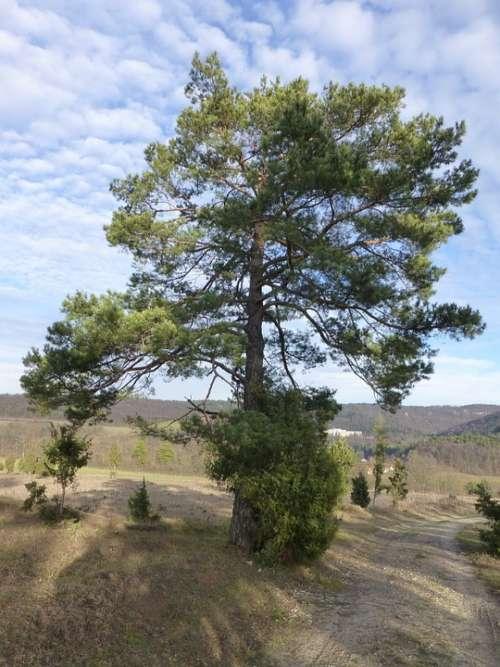 Pine Tree Mood Landscape Backlighting Clouds Sky