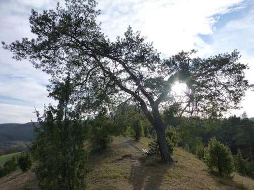 Pine Tree Landscape Backlighting Mood