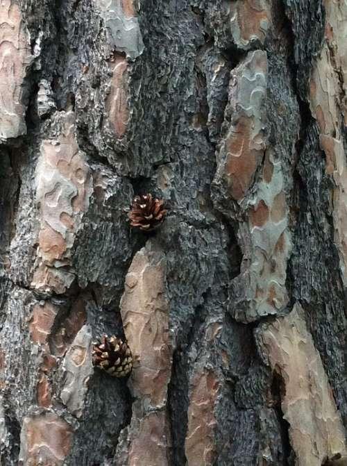 Pine Tree Bark Bark Tree Nature Wood