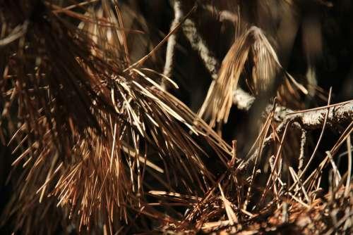 Pine Needles Pine Needles Autumn Tree Conifer