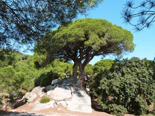 Pine Tree Nature Green Landscape Forest Catalonia