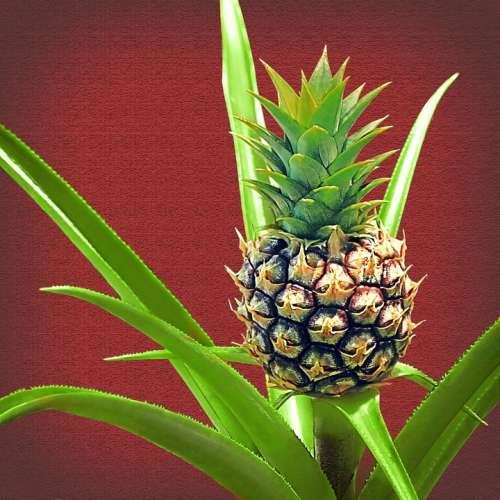 Pineapple Baby Pineapple Plant Fruit Green Tropic
