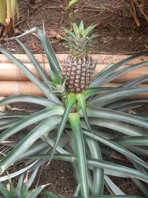 Pineapple Fruit Food Plant Tropical