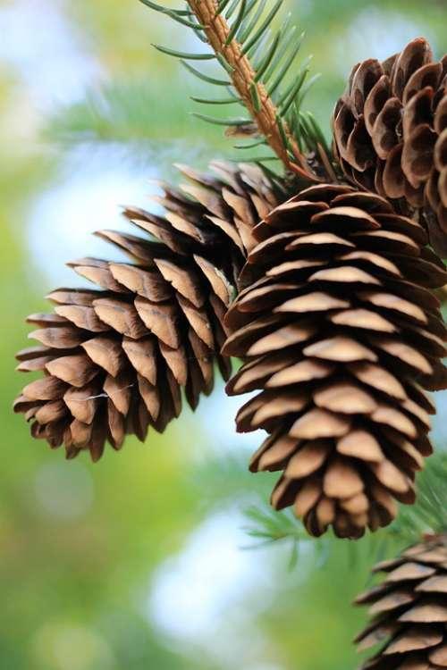 Pinecones Pine Pinecone Fall Pine Trees